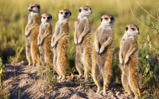 group-of-meerkats-mob