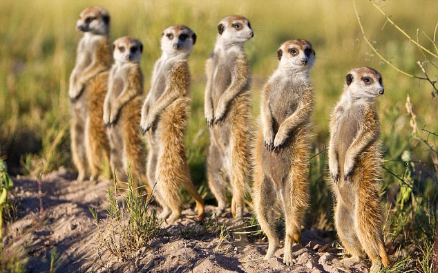group-of-meerkats-mob