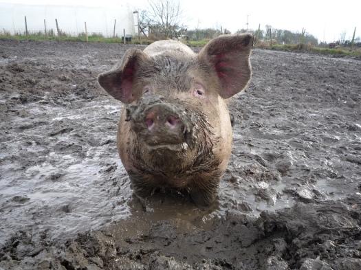 pig mud